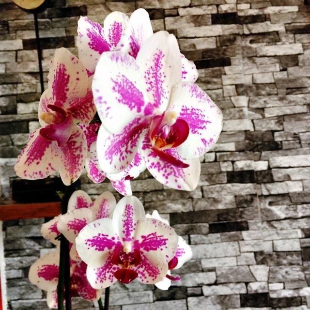 Surveiller les nouveaux boutons d'orchidées et se délecter de leur beauté... (Et même se dire que finalement on a la main assez verte!)